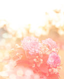 Soft focus of Bouquet of fresh pink white Carnation roses in the sunset Royalty Free Stock Photos