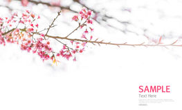 Soft focus Branch of beautiful pink flower isolated Stock Photography