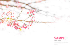 Soft focus Branch of beautiful pink flower isolated Royalty Free Stock Images