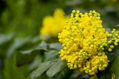 Soft focus bright yellow color of spring flowers Mahonia Aquifolium against the dark green of the plant. Wonderful natural background for any idea. Selective royalty free stock photo