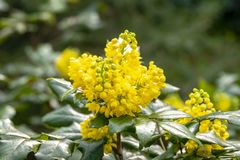 Soft focus bright yellow color of spring flowers Mahonia Aquifolium against the dark green of the plant. Wonderful natural background for any idea. Selective royalty free stock photos