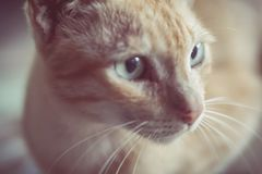 Soft focus brown cat eyes and face. Animal background royalty free stock images