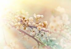 Soft of focus on budding - flowering fruit tree Royalty Free Stock Photo