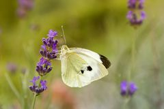 Cabbage White Butterfly on the Lavender Flower Royalty Free Stock Photography