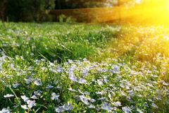 Soft focus carpet of Nemophila baby blue eyes flower with sunlight rays. Spring background. Copy space.  stock photo