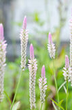 Soft focus of Celosia argentea flowers Royalty Free Stock Images