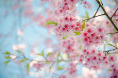 Soft focus Cherry Blossom or Sakura flower on nature. Background Royalty Free Stock Photography
