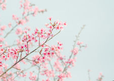 Soft focus Cherry Blossom or Sakura flower. On nature background royalty free stock photography