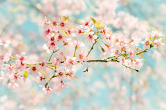 Soft focus Cherry Blossom or Sakura flower on nature background. In spring time Royalty Free Stock Photos