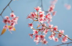 Soft focus Cherry Blossom or Sakura flower on nature background. In spring time Royalty Free Stock Images