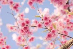 Soft focus Cherry Blossom or Sakura flower. On nature background stock image