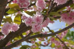 Soft focus Cherry blossom or Sakura flower on a tree branch against a blue sky background. Japanese cherry. Shallow depth. Soft Cherry blossom or Sakura flower stock photography