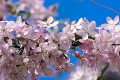 Soft focus Cherry blossom or Sakura flower on a tree branch against a blue sky background. Japanese cherry. Shallow depth. Of field. Focus on the center of a stock images