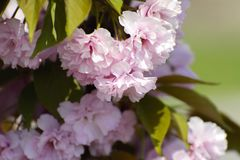 Soft focus Cherry blossom or Sakura flower on a tree branch against a blue sky background. Japanese cherry. Shallow depth. Of field. Focus on the center of a stock photos
