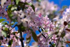 Soft focus Cherry blossom or Sakura flower on a tree branch against a blue sky background. Japanese cherry. Shallow depth. Of field. Focus on the center of a royalty free stock image