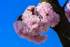 Soft focus Cherry blossom or Sakura flower on a tree branch against a blue sky background. Japanese cherry. Shallow depth. Of field. Focus on the center of a royalty free stock photo