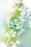 Soft focus on cherry branch blossoming Stock Images