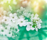 Soft focus on cherry flowers Stock Image