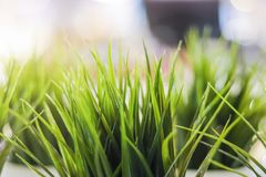 Soft focus. Close-up decorative green grass indoor. royalty free stock photography