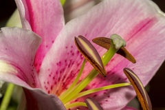 Soft focus close-up image of beautiful Pink Lily flower Stock Image