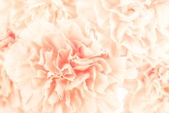 Soft focus of close up light orange pastel carnation flower. Fower background royalty free stock photos