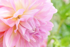 Soft-focus close-up of pink flowers.  Royalty Free Stock Photo