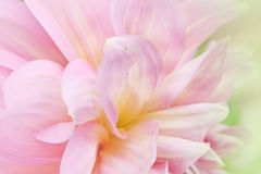 Soft-focus close-up of pink flowers.  Royalty Free Stock Image