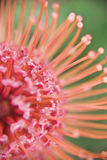 Soft-focus close up of a Protea flower Royalty Free Stock Images