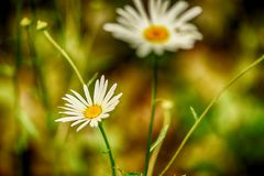 Soft-focus close-up of wildflowers Royalty Free Stock Images
