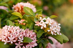 Soft focus closeup of pink Ixora flower stock images