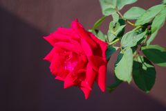 Soft focus closeup of red rose against brown wall with diagonal shadow royalty free stock photography