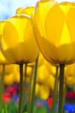 Soft-focus closeup of yellow tulip flowers Royalty Free Stock Images