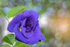The soft focus colorful of Blue Pea, Butterfly Pea,Clitoria tern. Atea,Leguminosae,Papilionoideae, Fabaceae,flower with the bokeh, the beam, light and lens flare Stock Photography