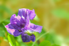 The soft focus colorful of Blue Pea, Butterfly Pea,Clitoria ternatea,Leguminosae,Papilionoideae, Fabaceae,flower on the plate with. The green copy space Royalty Free Stock Photo