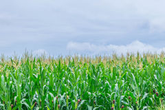 The soft focus of corn, Indian corn, Maize ,Zea mays, Poaceae,Gramineae,plant field with the blue sky and copy space background. The soft focus of corn, Indian Stock Images