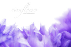 Soft focus cornflower background with copy space. Made with lens Stock Images