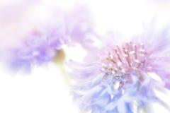 Soft focus cornflower background. Royalty Free Stock Photography