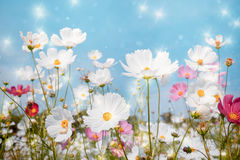 Soft focus Cosmos flower with bokeh star glillter on blue sky ba Stock Photos