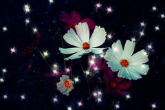 Soft focus Cosmos flower with bokeh star glillter on dark blue b Stock Photo