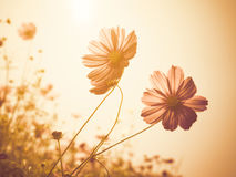 Soft focus cosmos flower on vintage sepia. Close up image of soft focus cosmos flower on vintage sepia tone background Royalty Free Stock Image