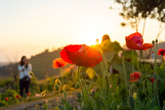Soft focus Cosmos flowers at sunset. Stock Photo