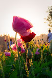 Soft focus Cosmos flowers at sunset. Stock Images