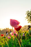 Soft focus Cosmos flowers at sunset. Royalty Free Stock Photos