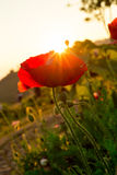 Soft focus Cosmos flowers at sunset. Royalty Free Stock Photo