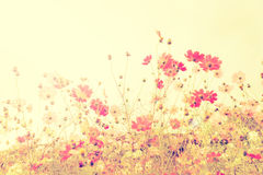 Soft focus cosmos flowers with vintage filtered color tone. Stock Image