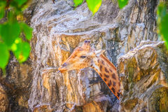 Soft focus of cute Giraffe, Giraffa camelopardalis, mammal rumin. Ant of the Artiodactyla order, the tallest living animal of the world Royalty Free Stock Photos