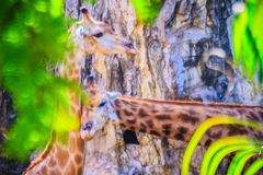 Soft focus of cute Giraffe, Giraffa camelopardalis, mammal rumin. Ant of the Artiodactyla order, the tallest living animal of the world Royalty Free Stock Image