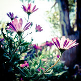 Soft focus daisies. With abstract colors Stock Photos