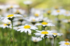 Soft Focus Daisies 2 Royalty Free Stock Images