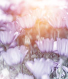 Soft focus of daisy field Royalty Free Stock Photos
